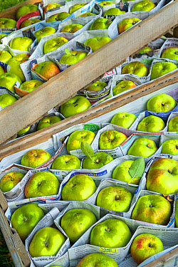 Cultivated Apple (Malus domestica) 'Bramley', fruit stored between newspaper in wooden trays, Norfolk, England, October  -  Gary K Smith/ FLPA