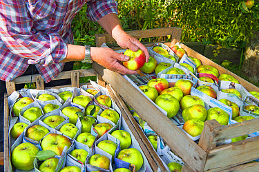 Cultivated Apple (Malus domestica) 'Bramley', fruit being sorted by gardener and stored between newspaper in wooden trays, Norfolk, England, October  -  Gary K Smith/ FLPA