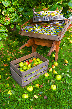 Cultivated Apple (Malus domestica) 'Bramley', fruit in wooden crate and stored between newspaper in wooden trays on wheelbarrow, Norfolk, England, October  -  Gary K Smith/ FLPA