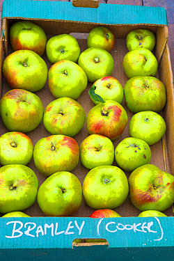Cultivated Apple (Malus domestica) 'Bramley', fruit stored in cardboard box, Norfolk, England, October  -  Gary K Smith/ FLPA