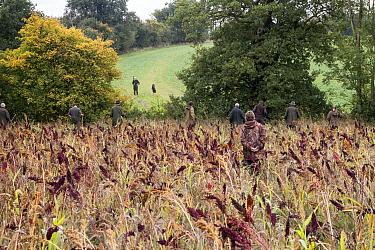Beaters walking through Millet game crop and cover to flush Pheasants towards the guns  -  David Hosking/ FLPA