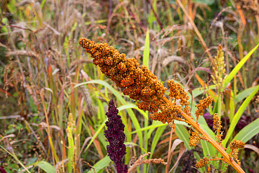 Millet used as a gamebird cover and food  -  David Hosking/ FLPA