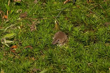 Eurasian Pygmy Shrew (Sorex minutus) adult, amongst moss, Norfolk, England, September (controlled)  -  Roger Tidman/ FLPA