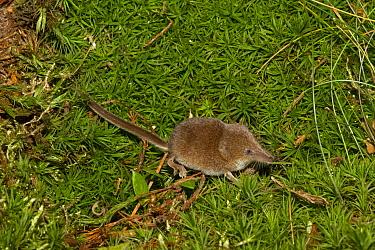 Eurasian Pygmy Shrew (Sorex minutus) adult, standing on moss, Norfolk, England, September (controlled)  -  Roger Tidman/ FLPA