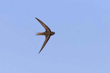 Common Swift (Apus apus) adult, in flight, turning to reveal upperside, Suffolk, England, June  -  Paul Sawer/ FLPA