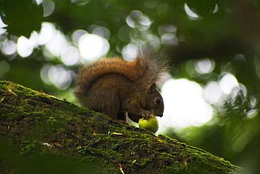 Red-tailed Squirrel (Sciurus granatensis) adult, feeding on fruit, sitting on branch, Tobago, Trinidad and Tobago, October  -  David Warren/ FLPA
