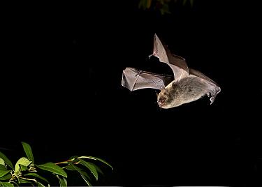 Brandt's Bat (Myotis brandtii) adult, in flight over cotoneaster at night, Sussex, England, October  -  Hugh Clark/ FLPA