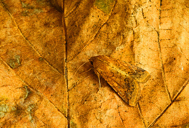 Cotton Bollworm (Helicoverpa armigera) 'Scarce Bordered Straw', adult, resting on leaf, Norfolk, England, October  -  Neil Bowman/ FLPA