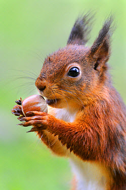 Eurasian Red Squirrel (Sciurus vulgaris) adult, close-up of head, feeding on hazelnut, on garden lawn, Newlands Valley, near Keswick, Lake District National Park, Cumbria, England, October  -  Andrew Bailey/ FLPA