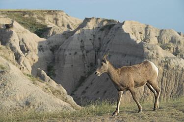 Bighorn Sheep (Ovis canadensis canadensis) adult female, walking in badlands habitat, Badlands National Park, South Dakota, U.S.A., August  -  Mark Newman/ FLPA
