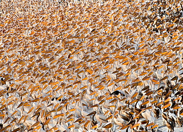 Great White Pelican (Pelecanus onocrotalus) flock, mass gathering at fishponds stop-over during autumn migration, Ma'ayan Zvi, Israel  -  Yossi Eshbol/ FLPA