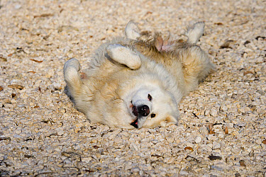 Domestic Dog, Pyrenean Mountain Dog, adult, rolling on stones  -  Gerard Lacz/ FLPA