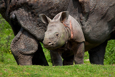 Indian Rhinoceros (Rhinoceros unicornis) calf, standing beside mother (captive)  -  Gerard Lacz/ FLPA