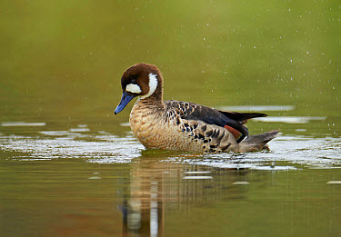 Bronze-winged Duck (Speculanas specularis) adult, bathing on water, Torres del Paine National Park, Southern Patagonia, Chile, November  -  Ignacio Yufera/ FLPA