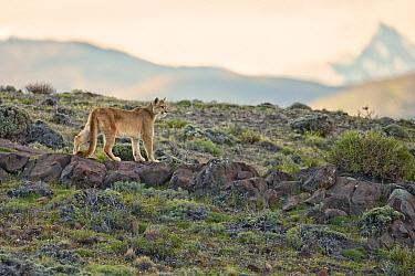 Puma (Puma concolor puma) adult, standing on rocks in mountain habitat, Torres del Paine National Park, Southern Patagonia, Chile, November  -  Ignacio Yufera/ FLPA