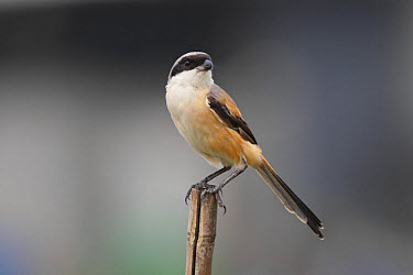 Long-tailed Shrike (Lanius schach) adult, perched on bamboo pole, Mai Po, New Territories, Hong Kong, China, August  -  John Holmes/ FLPA