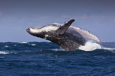 Humpback Whale (Megaptera novaeangliae) adult, breaching, Indian Ocean, Wild Coast, South Africa  -  Reinhard Dirscherl/ FLPA