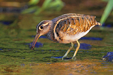 Greater Painted-snipe (Rostratula benghalensis) adult male, feeding, standing in shallow water, Hong Kong, China, November  -  John Holmes/ FLPA