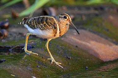 Greater Painted-snipe (Rostratula benghalensis) adult male, walking at edge of water, Hong Kong, China, November  -  John Holmes/ FLPA