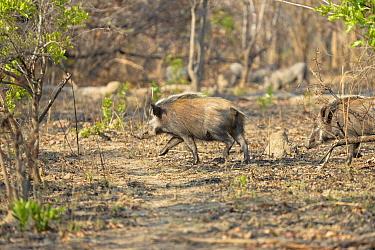 Bushpig (Potamochoerus larvatus) two adults, running through bush, Kafue National Park, Zambia, September  -  Malcolm Schuyl/ FLPA
