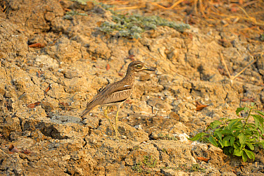 Water Dikkop (Burhinus vermiculatus) adult, walking on dry riverbank, Kafue National Park, Zambia, September  -  Malcolm Schuyl/ FLPA