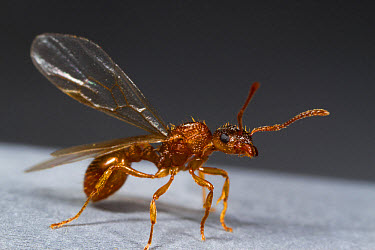 Red Ant (Myrmica rubra) winged queen, about to take off from roof, Powys, Wales, August  -  Richard Becker/ FLPA