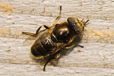 Shore Hoverfly (Eristalinus aeneus) adult, resting on wooden fence, West Canvey Marshes RSPB Reserve, Canvey Island, Thames Estuary, Essex, England, September  -  Dave Pressland/ FLPA