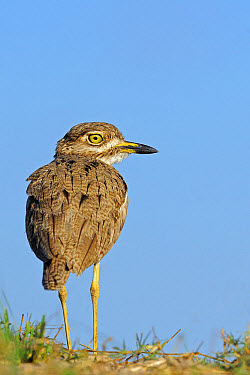 Water Dikkop (Burhinus vermiculatus) adult, standing, rear view, Chobe National Park, Botswana, July  -  Winfried Wisniewski/ FLPA