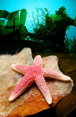 Starfish  -  OceanPhoto/ FLPA