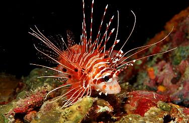 Spotfin lionfish  -  OceanPhoto/ FLPA