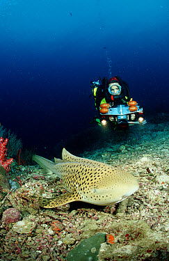 Leopard shark (Stegostoma fasciatum) and scuba diver, Phuket, Similan Islands, Andaman Sea, Thailand, Indian Ocean  -  OceanPhoto/ FLPA