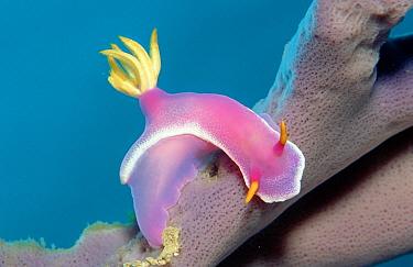 Nudibranche, sea slug, two sea slugs  -  OceanPhoto/ FLPA