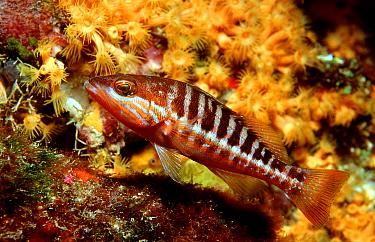 Comber (Serranus cabrilla)  -  OceanPhoto/ FLPA