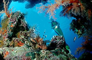 Spotfin lionfish (Pterios antennata) and scuba diver  -  OceanPhoto/ FLPA
