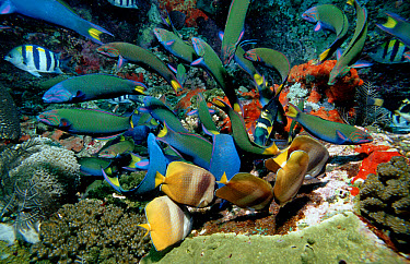 Twotone Wrasses (Halichoeres prosopeion) eating eggs  -  OceanPhoto/ FLPA