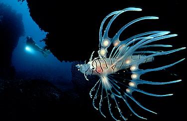 Spotfin lionfish and scuba diver  -  OceanPhoto/ FLPA