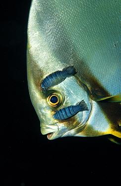 Isopods on Pinnate batfish, Platax pinnatus, Nerocila, Wakatobi Dive Resort, Sulawesi, Indian Ocean, Bandasea  -  Reinhard Dirscherl/ FLPA