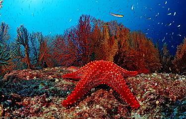 Red starfish and coral reef, Asteroidea, Sea of Cortez, Baja California, La Paz, Mexico  -  Reinhard Dirscherl/ FLPA