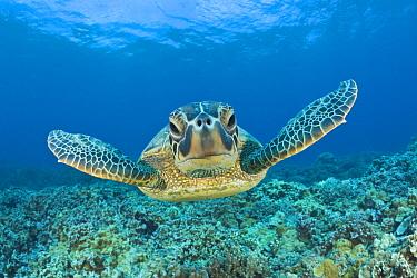 Green Turtle, Chelonia mydas, Maui, Hawaii, USA  -  Reinhard Dirscherl/ FLPA