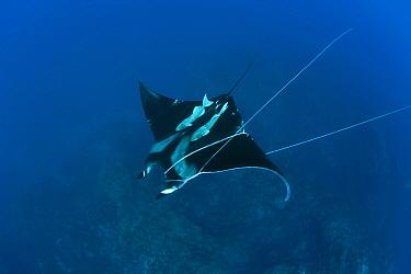 Sicklefin Mobula trapped by Rope, Mobula tarapacana, Azores, Princess Alice Bank, Atlantic Ocean, Portugal  -  Reinhard Dirscherl/ FLPA
