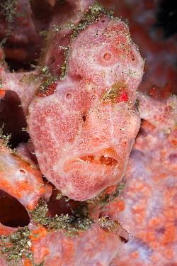 Spotted Frogfish, Antennarius pictus, Raja Ampat, West Papua, Indonesia  -  Reinhard Dirscherl/ FLPA