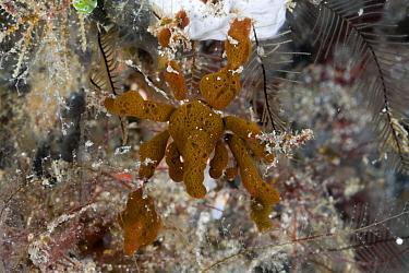 Spidercrab, Majidae sp, camouflaged with Sponges, Lembeh Strait, North Sulawesi, Indonesia  -  Reinhard Dirscherl/ FLPA