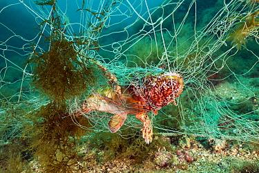 Rockfish trapped in lost Fishing Net, Scorpaena scrofa, Cap de Creus, Costa Brava, Spain  -  Reinhard Dirscherl/ FLPA