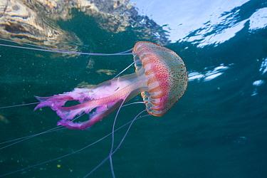Mauve Stinger Jellyfish, Pelagia noctiluca, Cap de Creus, Costa Brava, Spain  -  Reinhard Dirscherl/ FLPA