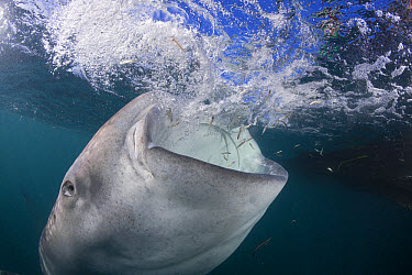 Whale Shark (Rhincodon typus) adult, feeding, Cenderawasih Bay, West Papua, Indonesia  -  Reinhard Dirscherl/ FLPA