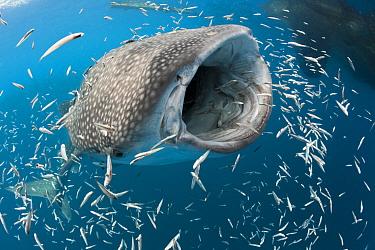 Feeding Whale Shark, Rhincodon typus, Cenderawasih Bay, West Papua, Indonesia  -  Reinhard Dirscherl/ FLPA