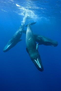 Sperm Whale, Physeter macrocephalus, social behaviour, Caribbean Sea, Dominica, Leeward Islands, Lesser Antilles  -  Reinhard Dirscherl/ FLPA