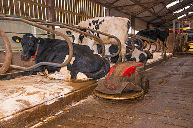 Dairy farming, robot scraper operating in cubicle house with Holstein dairy cows, Shropshire, England, November  -  John Eveson/ FLPA