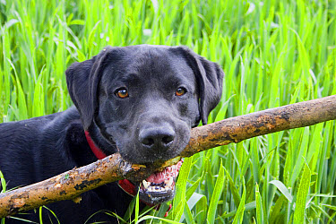 Domestic Dog, Black Labrador Retriever, adult, close-up of head, carrying large stick in mouth, England, May  -  Angela Hampton/ FLPA