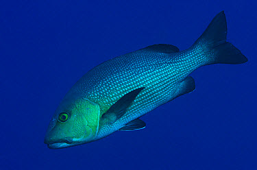 Two-spot Red Snapper (Lutjanus bohar) adult, swimming, Reong West, Wetar Island, Barat Daya Islands, Lesser Sunda Islands, Indonesia, November  -  Colin Marshall/ FLPA
